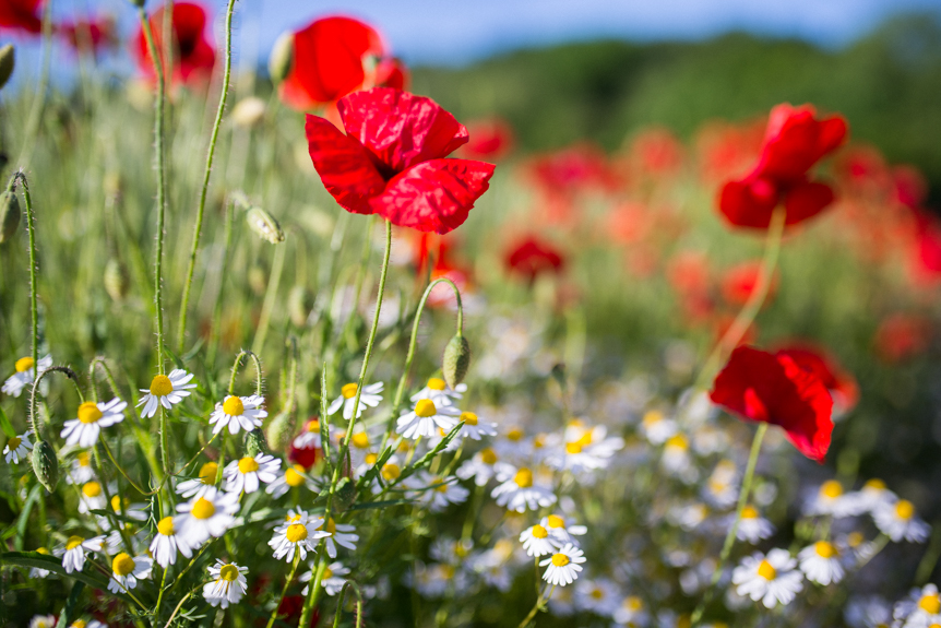 coquelicots fleurs des champs